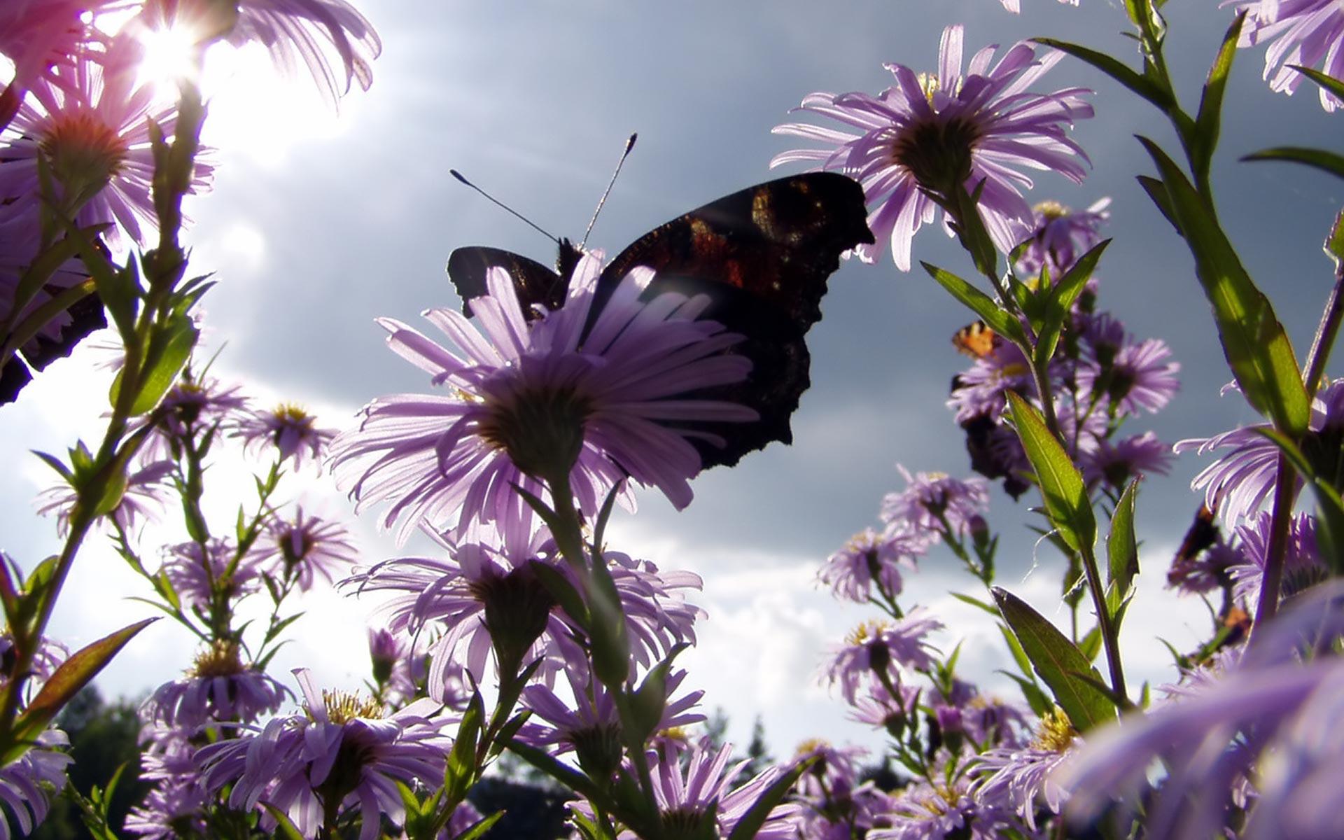 Flowers Nectar Butterfly Widescreen HD wallpapers 1920x1200