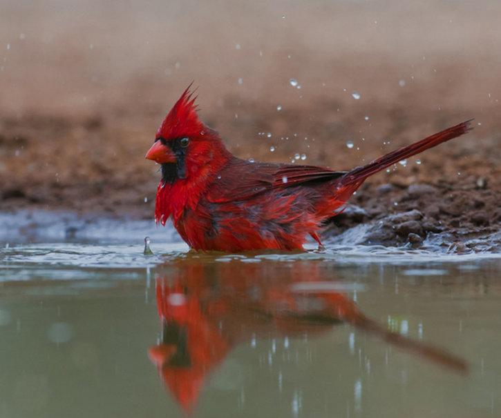 red cardinal wallpaper   ForWallpapercom 725x606