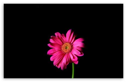Hot Pink Gerber Daisy HD wallpaper for Standard 43 54 Fullscreen 510x330