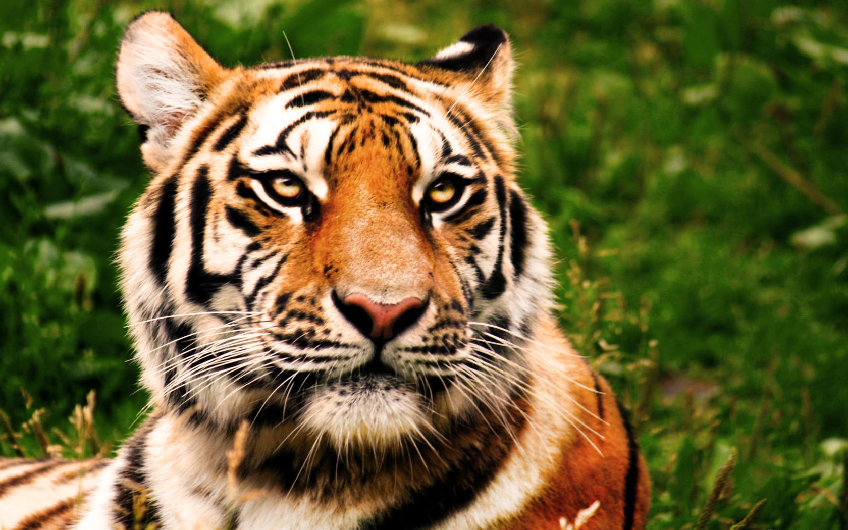 beautiful tigers wallpapers wallpapersafari