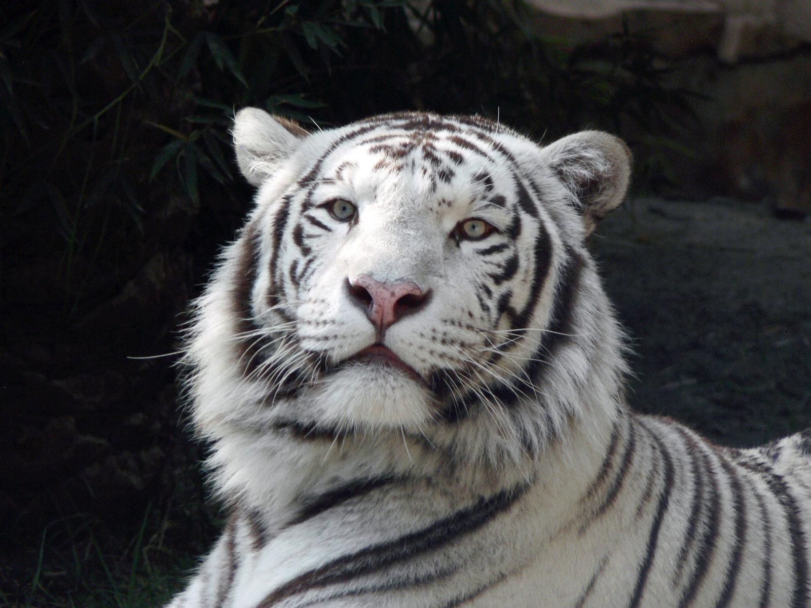 White tiger dangerous wallpaper HD Wallpaper 1600x1200