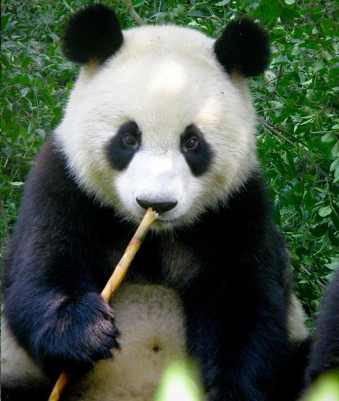 Panda Bear Wallpaper Free - WallpaperSafari - photo#28