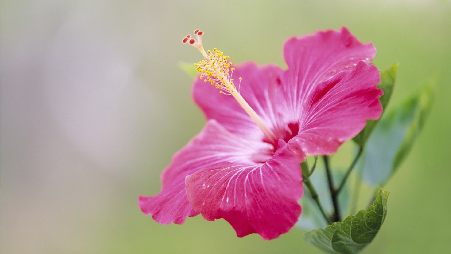 HD Wallpaper Flower Download 1920x1080