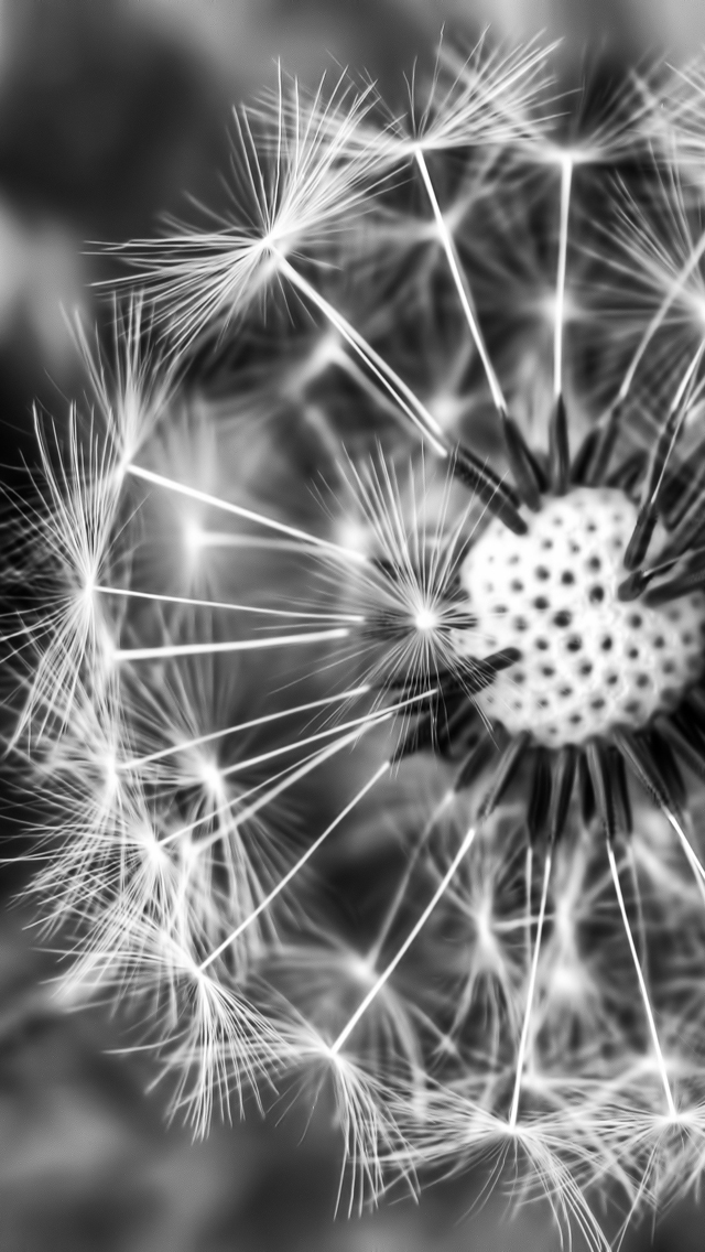 Dandelion Black And White Wallpaper Black White Dandelion 640x1136