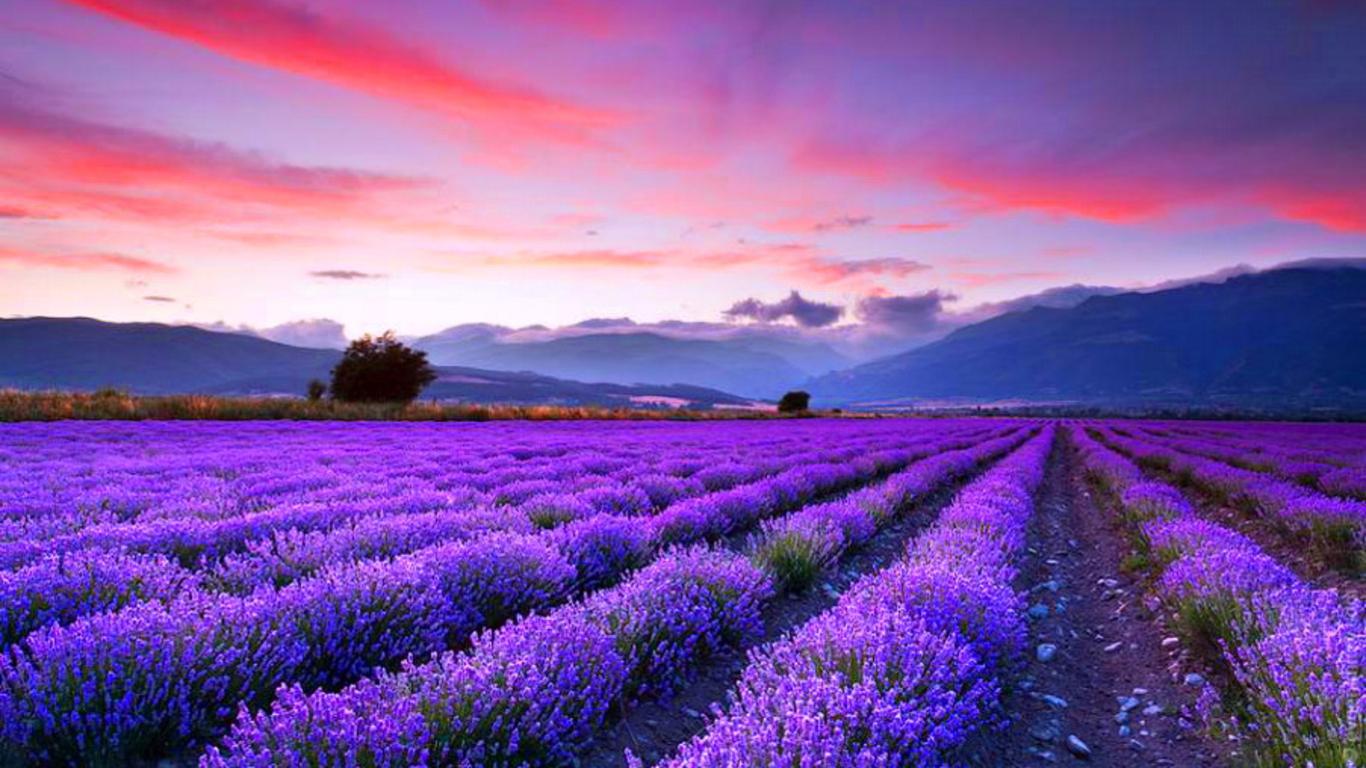 lavender fields wallpaper   ForWallpapercom 1366x768