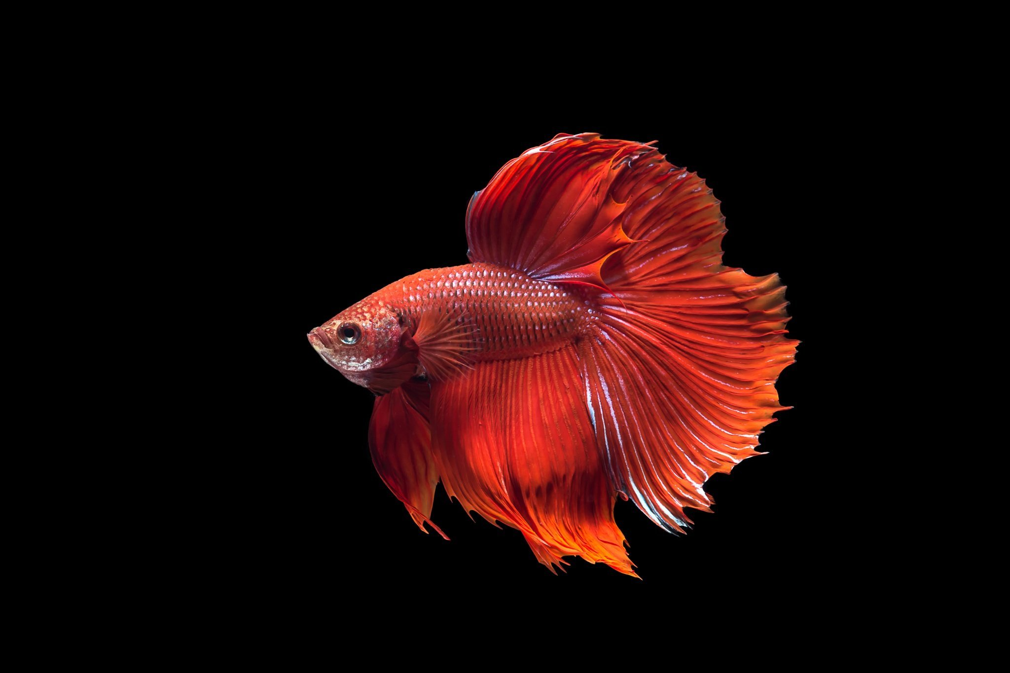 betta fish live wallpaper for android
