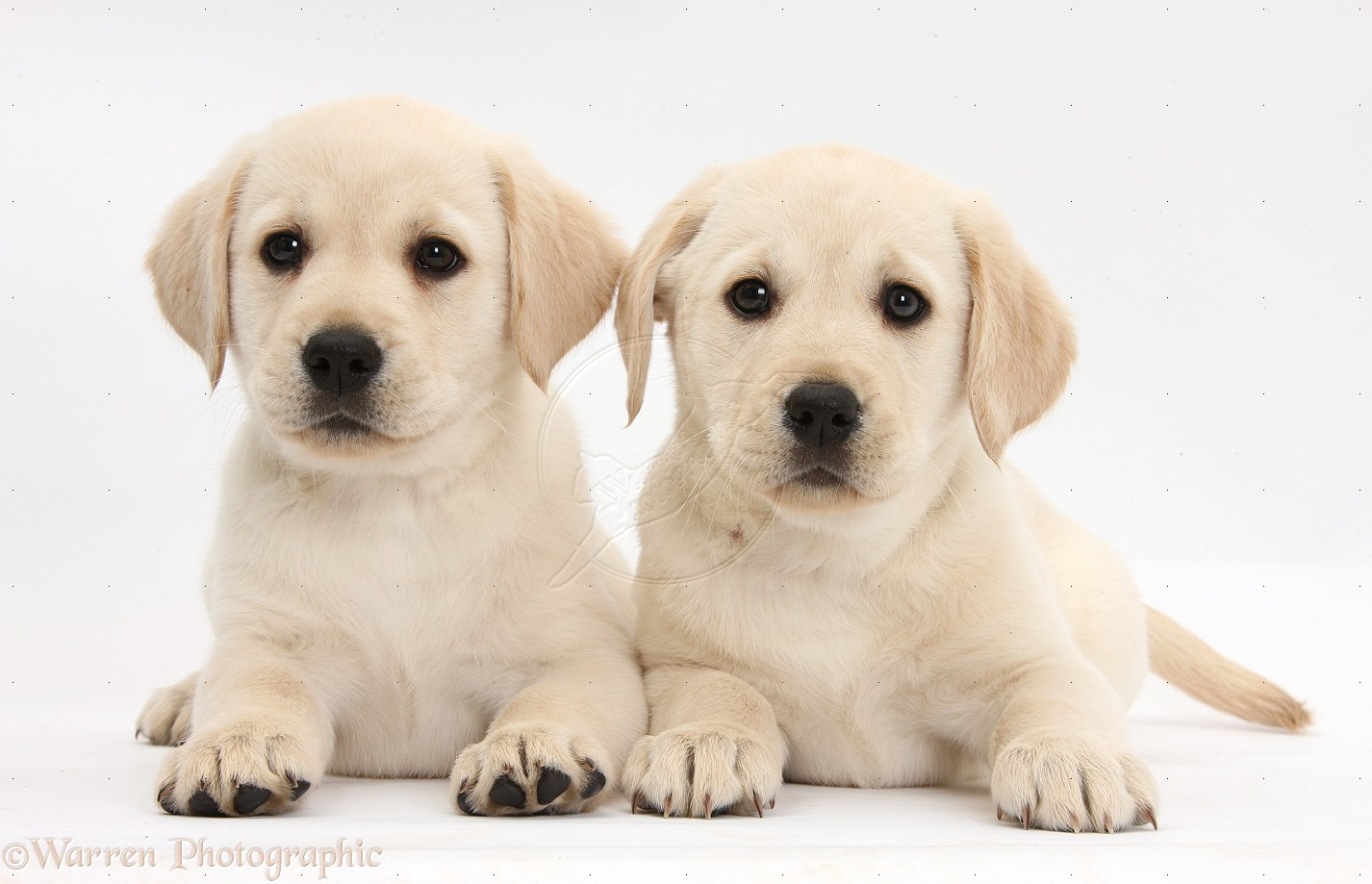 12 Animals Desktop Wallpapers 922004 Yellow Labrador Puppies Photos 1426x919