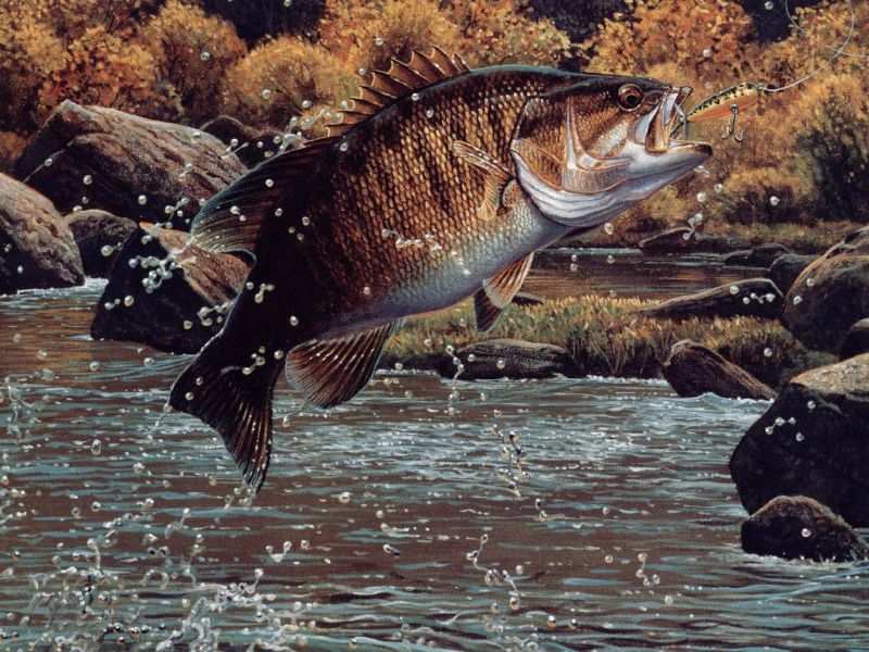 Largemouth Bass Hd Wallpaper For Desktop Images Pictures   Becuo 800x600