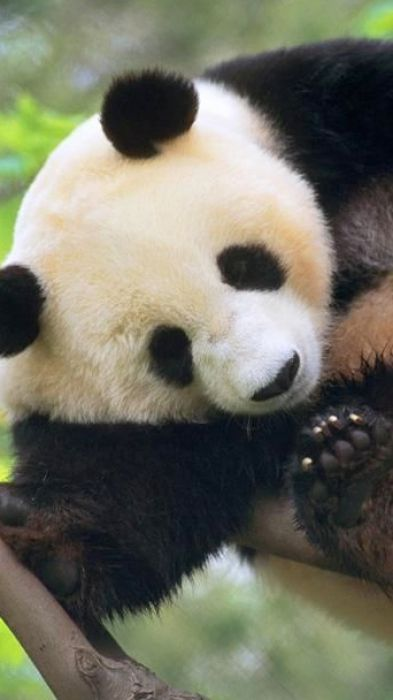 Cute Baby Panda Wallpaper 393x700