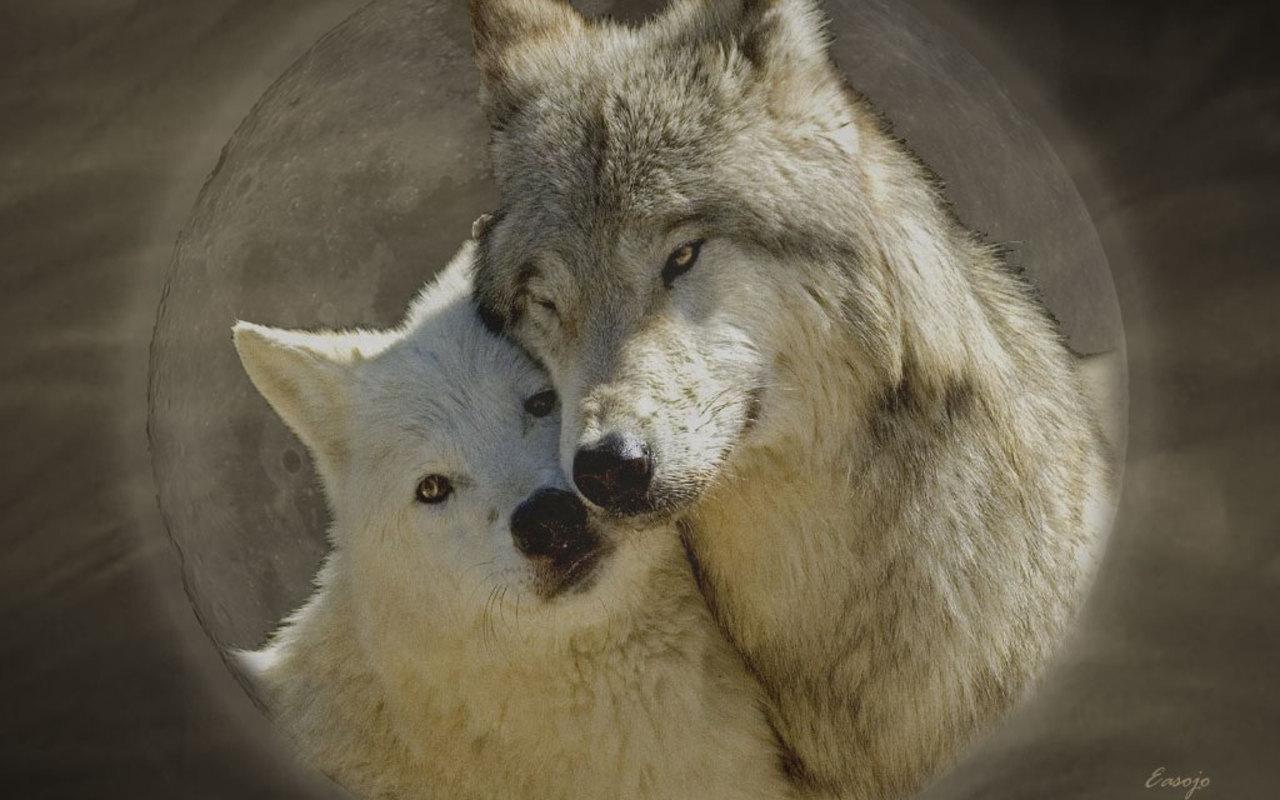Wolves in Love Wallpapers - WallpaperSafari