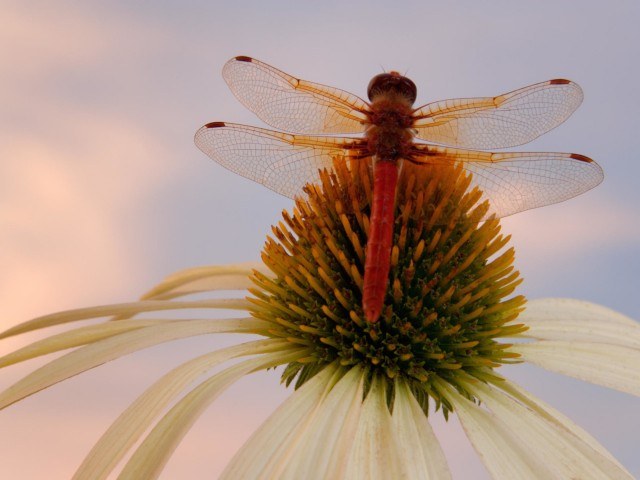 Red Veined Darter Dragonfly Wallpaper   Downloads 640x480