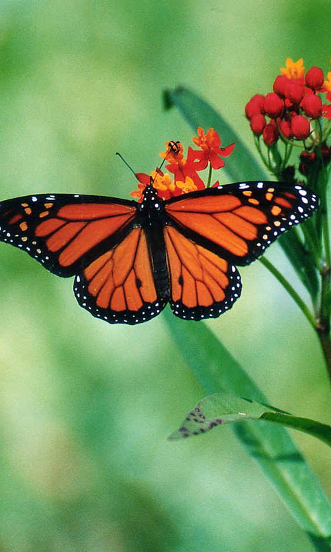 Butterfly Wallpapers download for Android 480x800