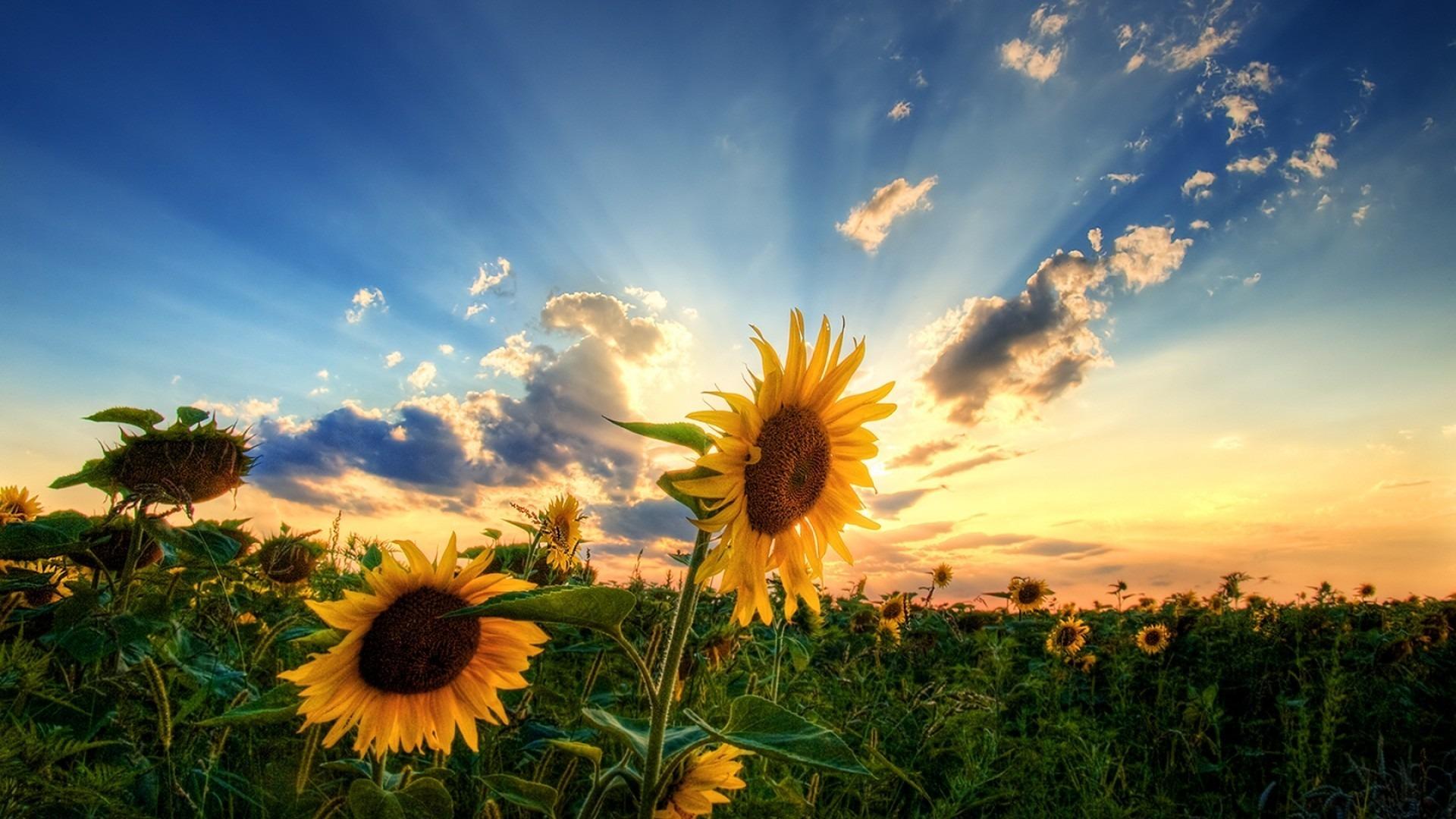подсолнухи поле sunflowers field  № 419078 бесплатно