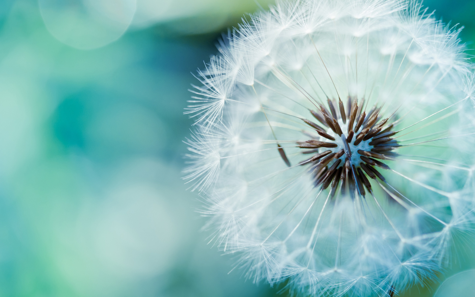 Dandelion Nature Flower Wallpaper 1920x1200