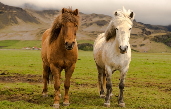 Wallpaper iceland farm horses wallpapers animals   download 596x380