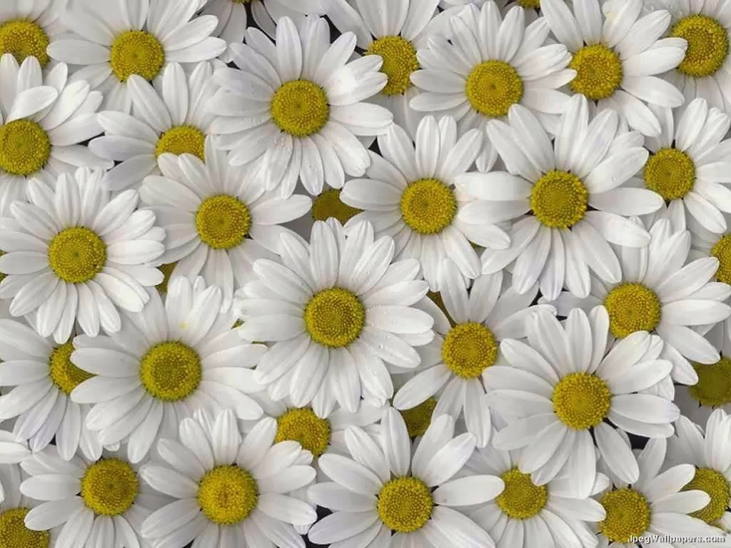 wallpaper and make this Daisy flower wallpaper for your desktop 1024x768
