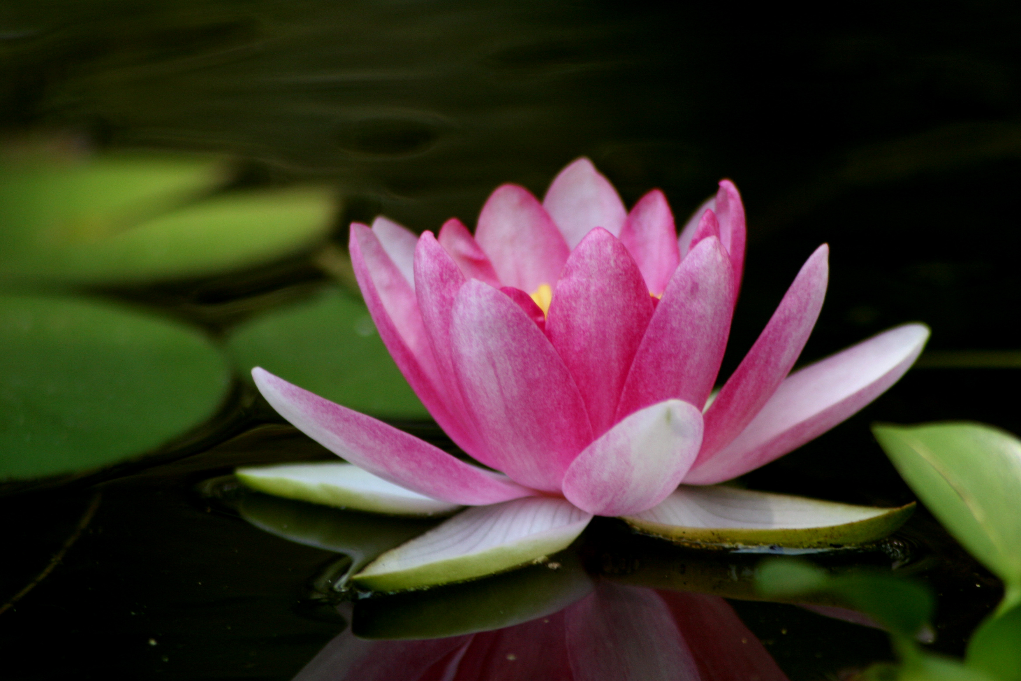 lotus flower background  wallpapersafari, Beautiful flower