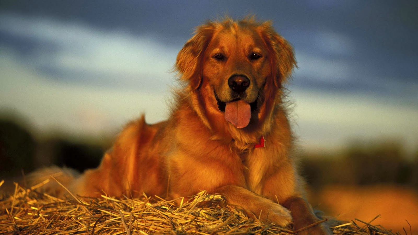 Golden Retriever Backgrounds Wallpapersafari