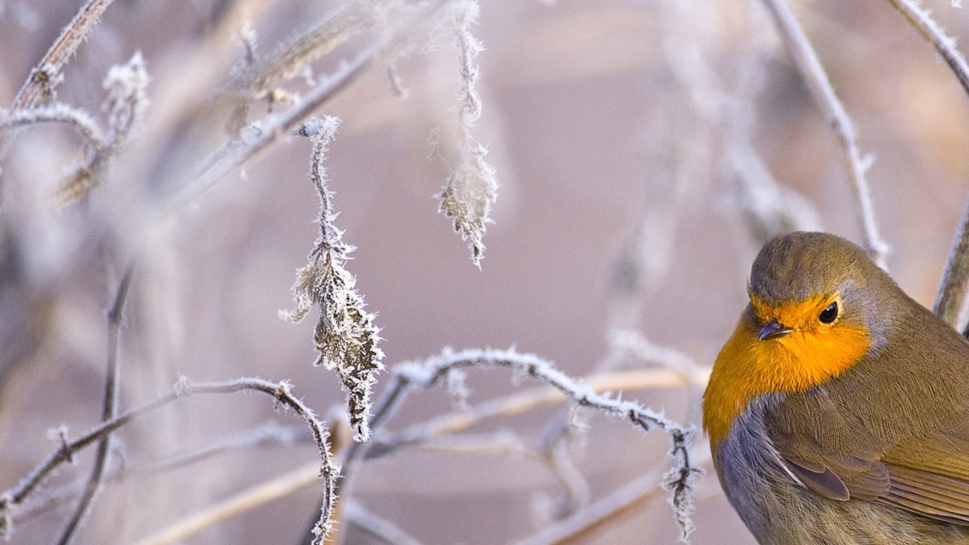 Snow Bird Wallpaper For Desktop