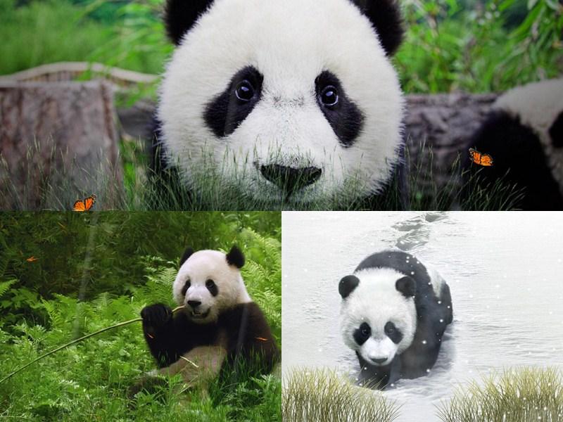 Free Download Cute Panda Animated Wallpaper Desktopanimatedcom 800x600 For Your Desktop Mobile Tablet Explore 48 Moving Panda Wallpaper Red Panda Wallpaper Cute Panda Wallpaper Baby Panda Wallpaper