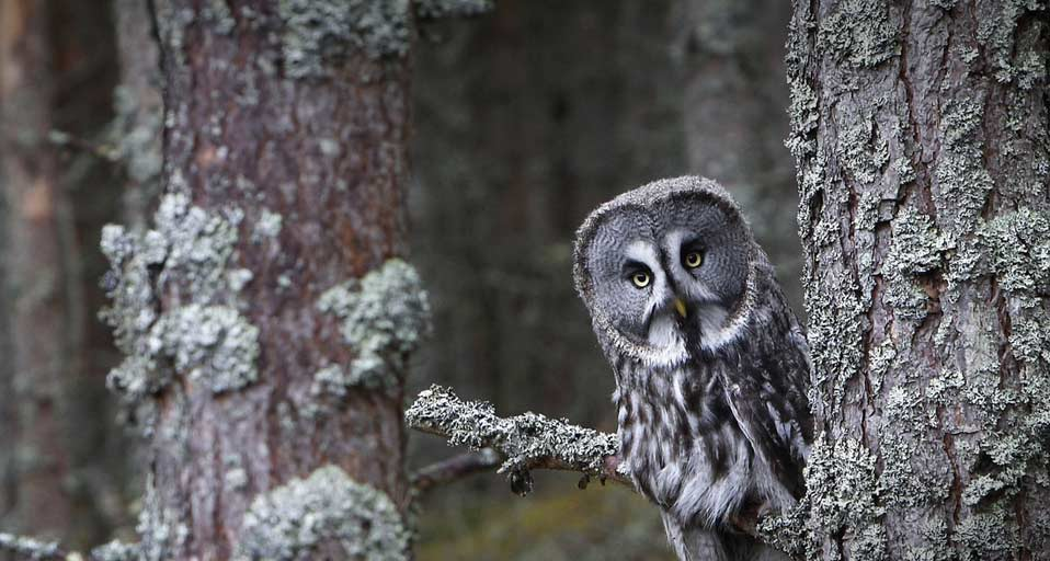 Free Download Great Grey Owl 958x512 For Your Desktop