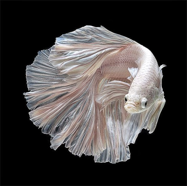 Betta Fish Wallpaper - WallpaperSafari