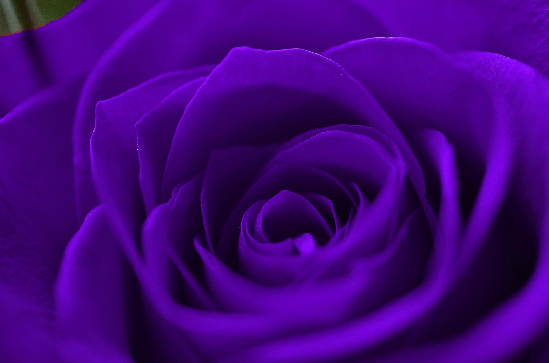 HD Wallpapers 1080p Purple Rose 1920x1271