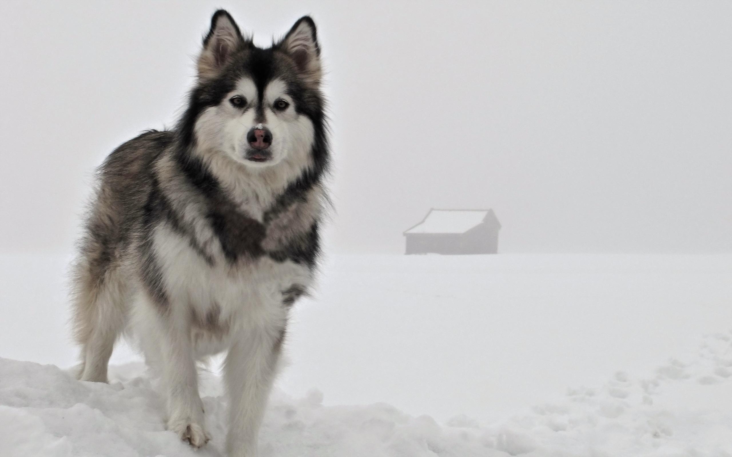 Pets Snowball