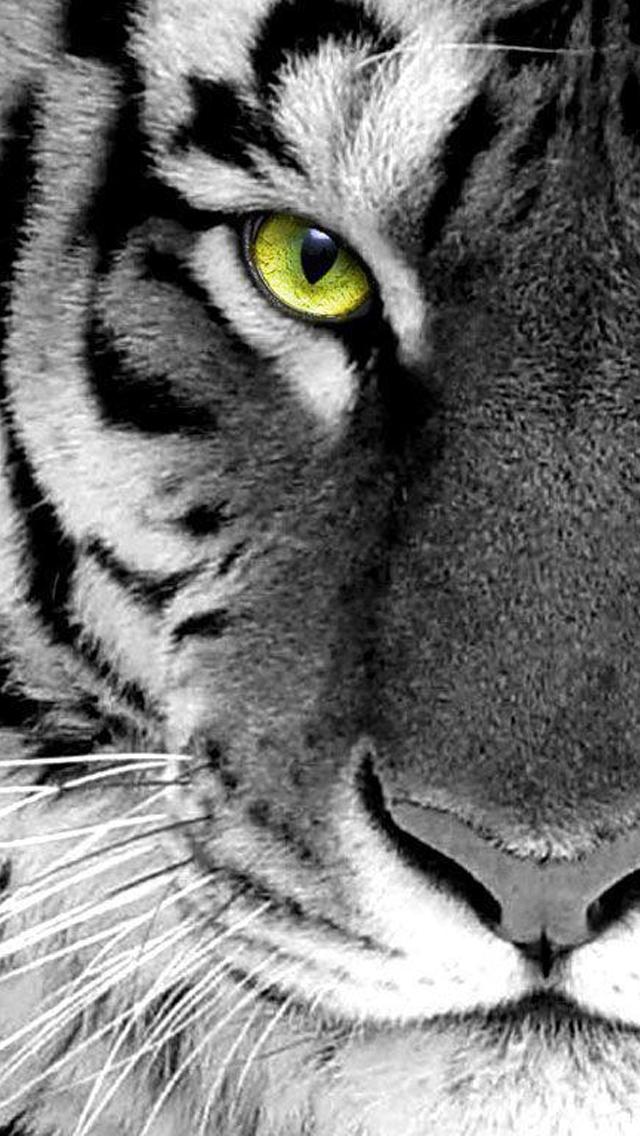 45 White Tiger Iphone Wallpaper On Wallpapersafari