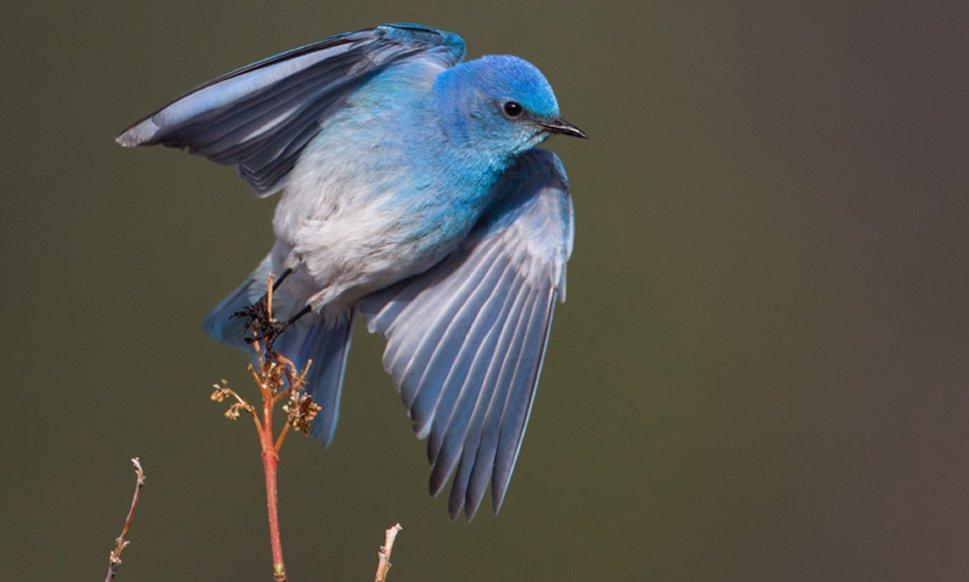Blue Bird wallpaper 969x582