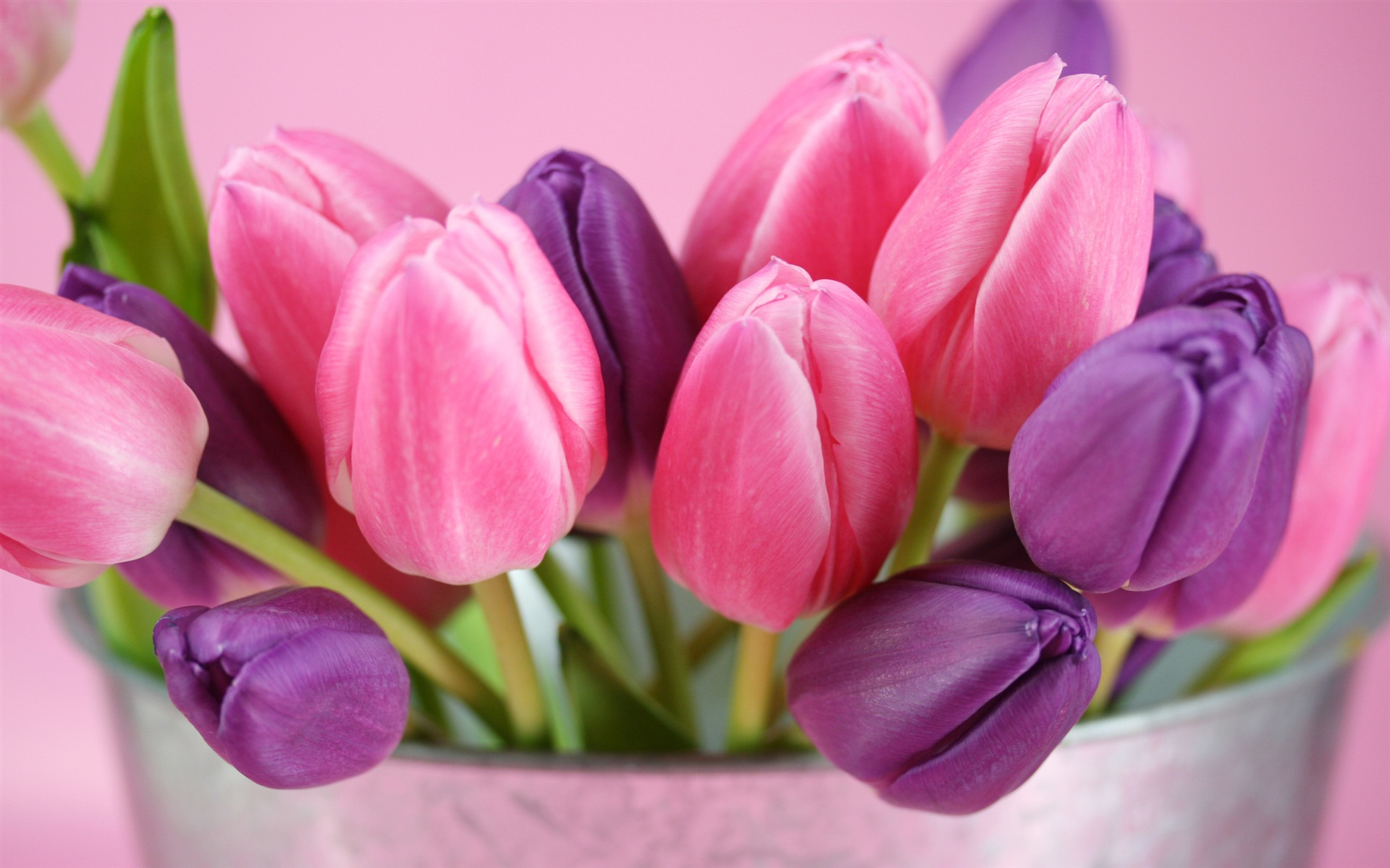 Pink and purple tulips flowers Wallpapers Wallpaper 19201200 HD 1920x1200