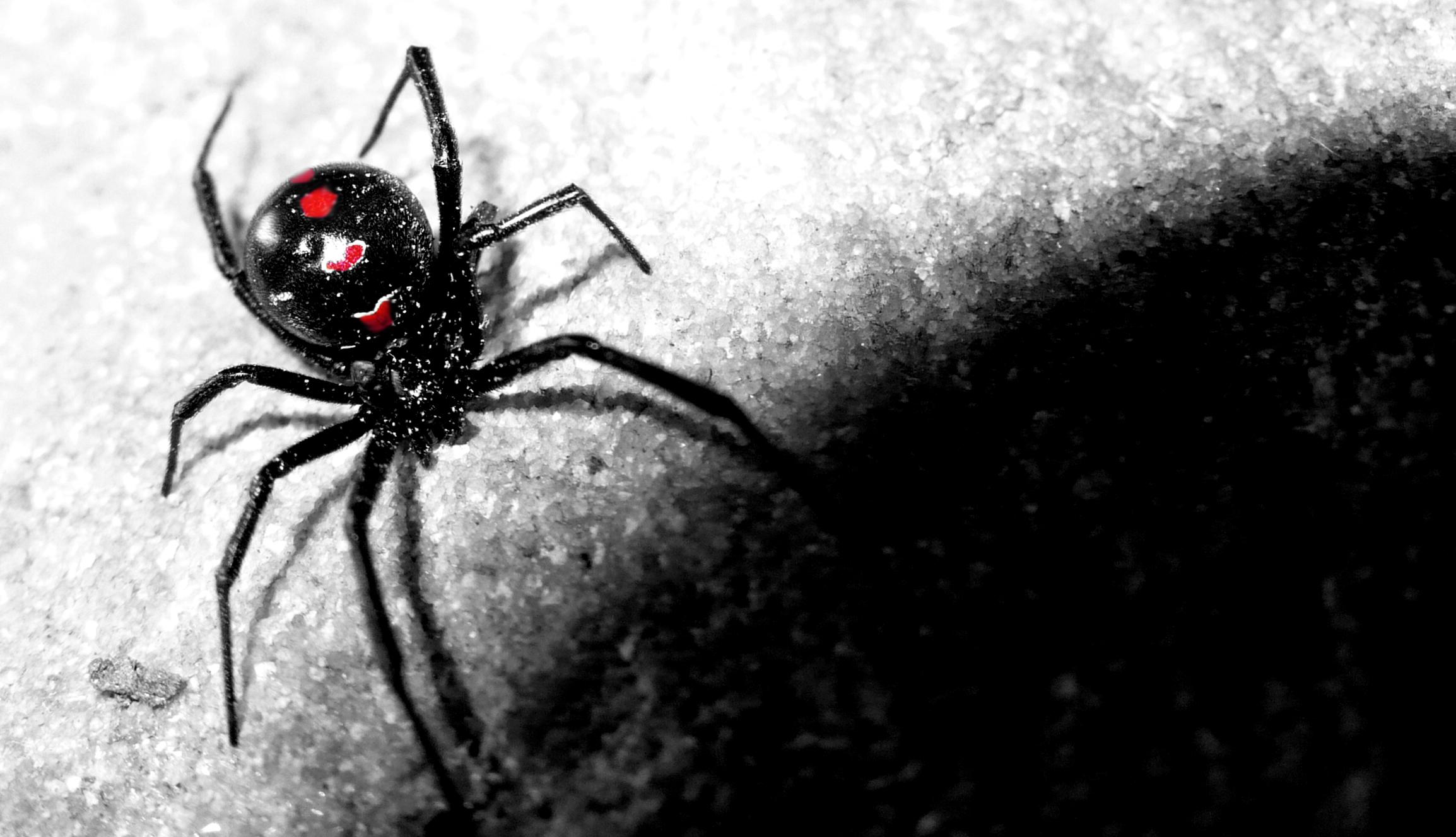 Black Widow Spider   wallpaper 2308x1328