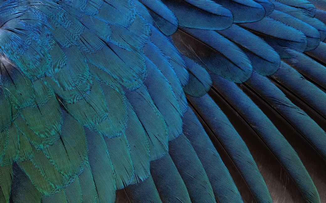 Feathers Black Background Blue   Stock Photos Images HD 1040x650