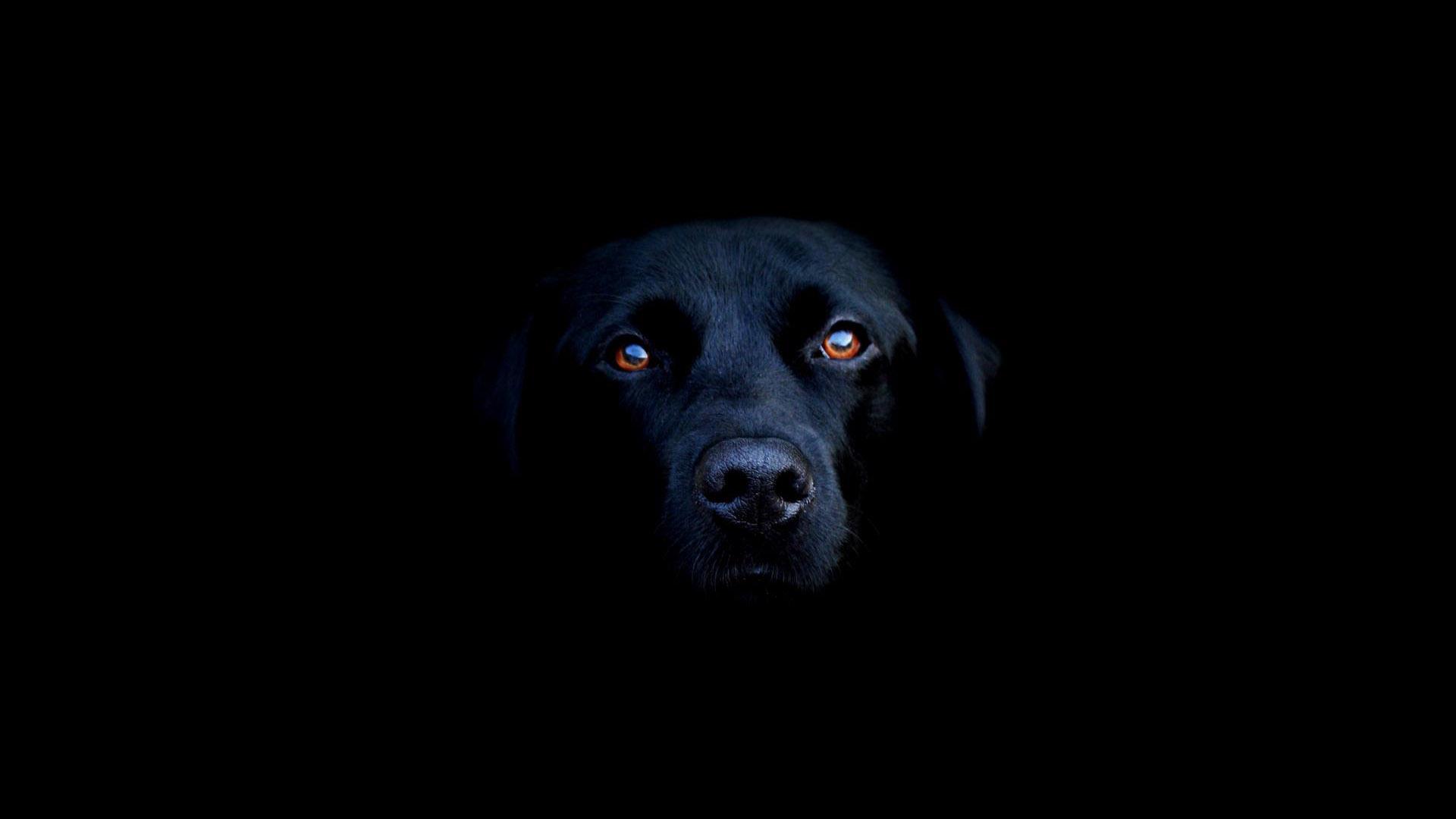 Black Labrador Dog 1920x1080 HD Image Animals Pets 1920x1080