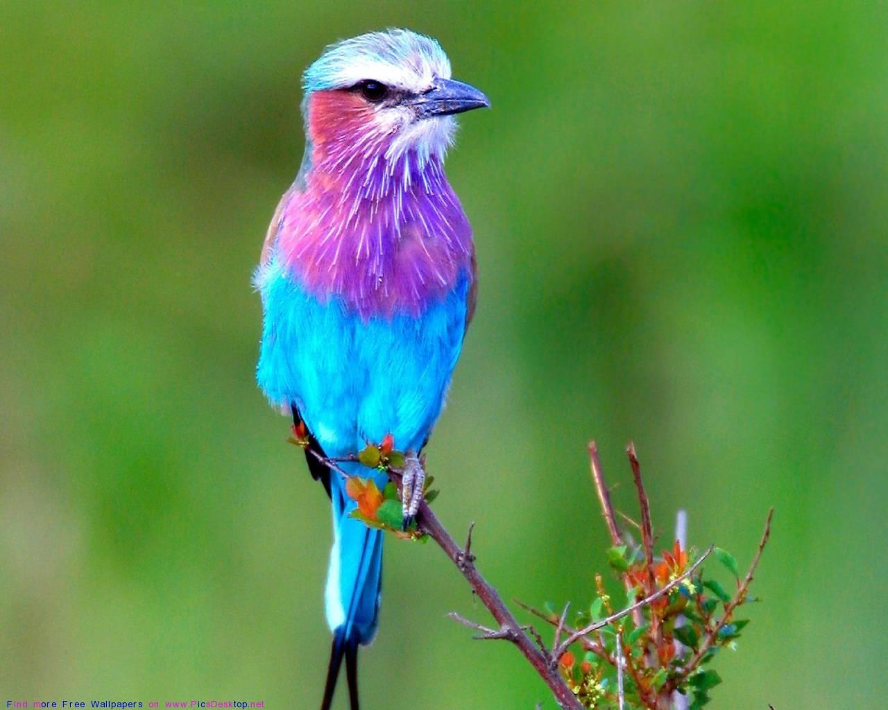Lavender Blue Bird   Beautiful Birds Wallpaper 1280x1024