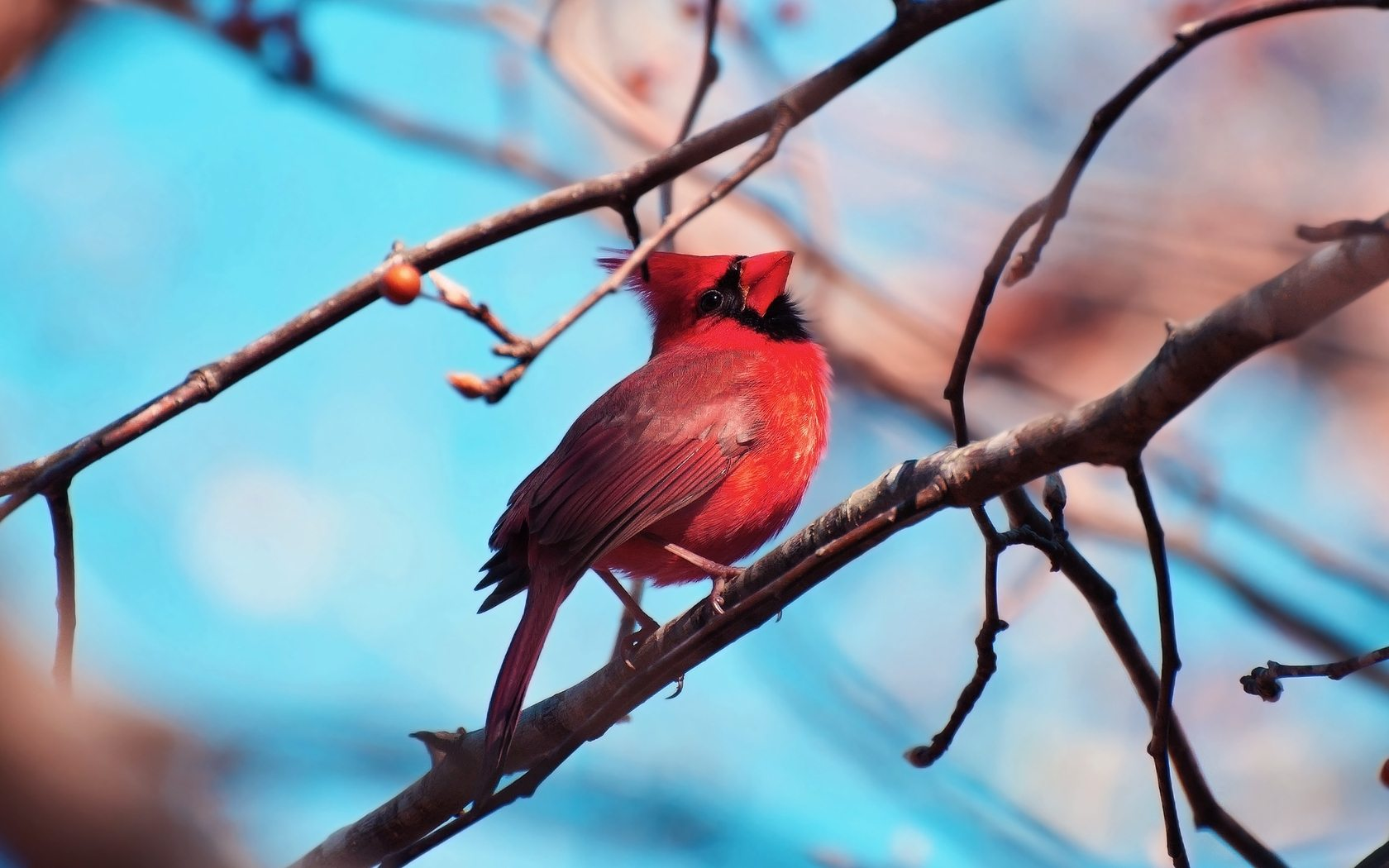 10 HD Cardinal Bird Wallpapers   HDWallSourcecom 1680x1050