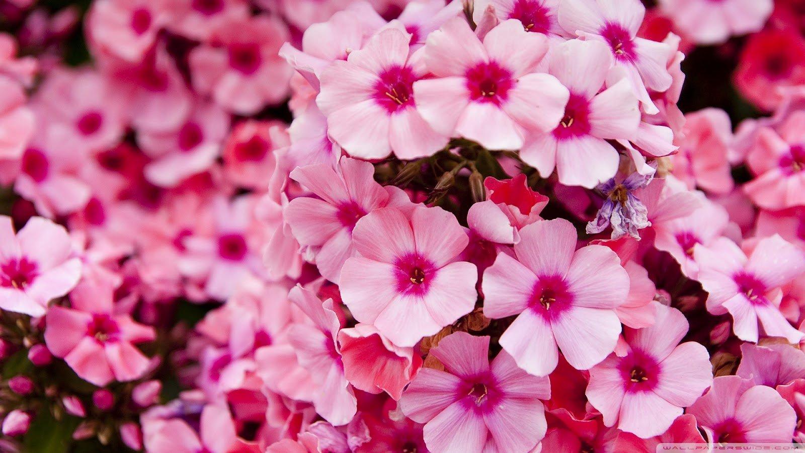 Pink Flowers Wallpaper Wallpapersafari