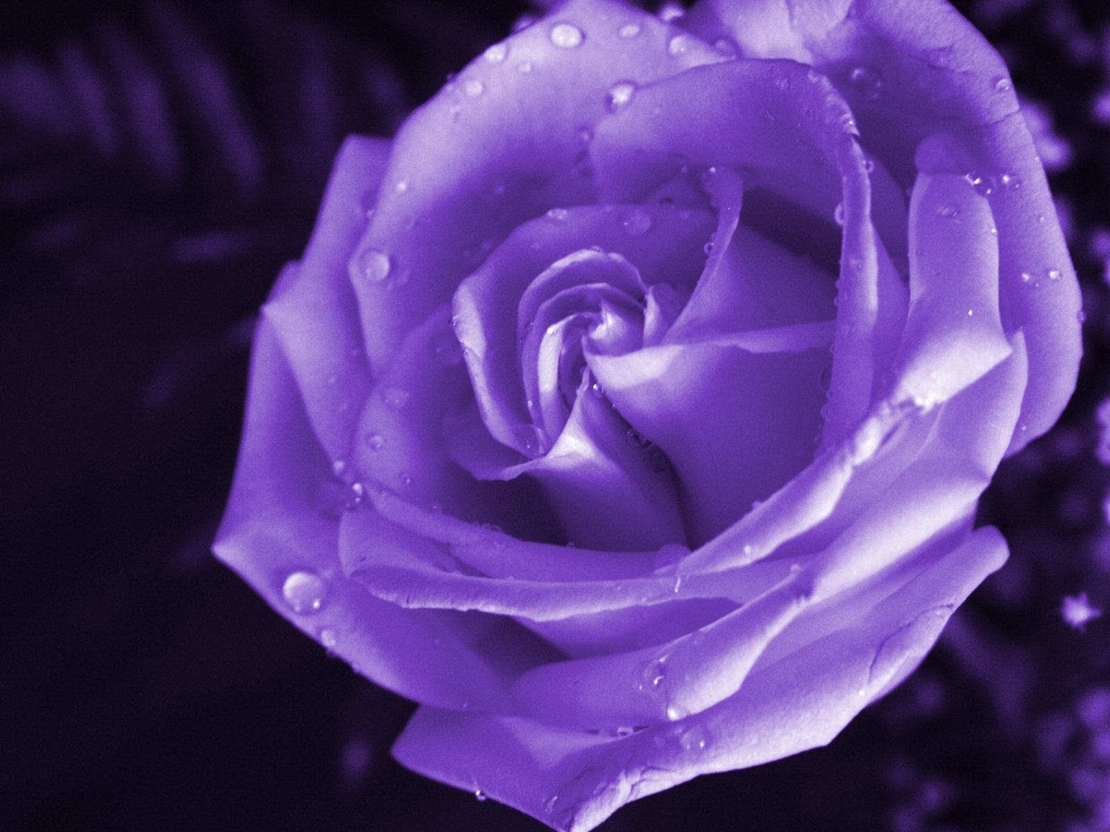 Free Wallpaper of Purple Roses - WallpaperSafari  Purple