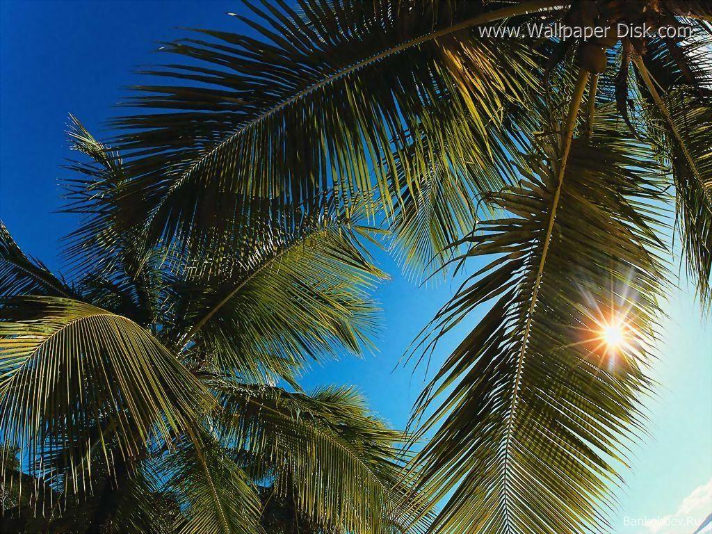 httpwwwwallpaperdiskcomdownload Palm20Trees 8088 wallpaperhtml 1024x768
