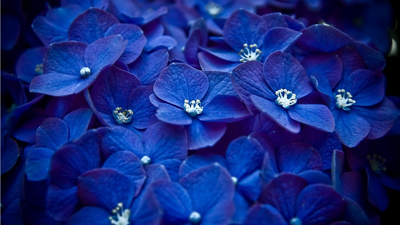 Flowers images Blue Flowers HD wallpaper and background 1366x768