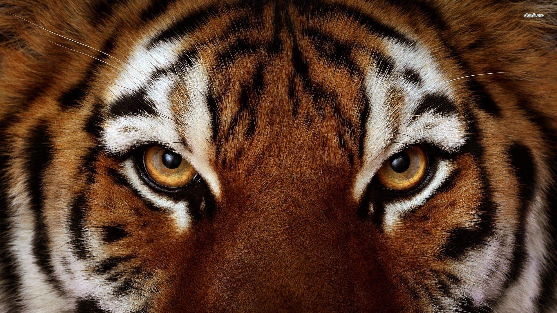 90 Angry Tiger Eyes Wallpapers On Wallpapersafari