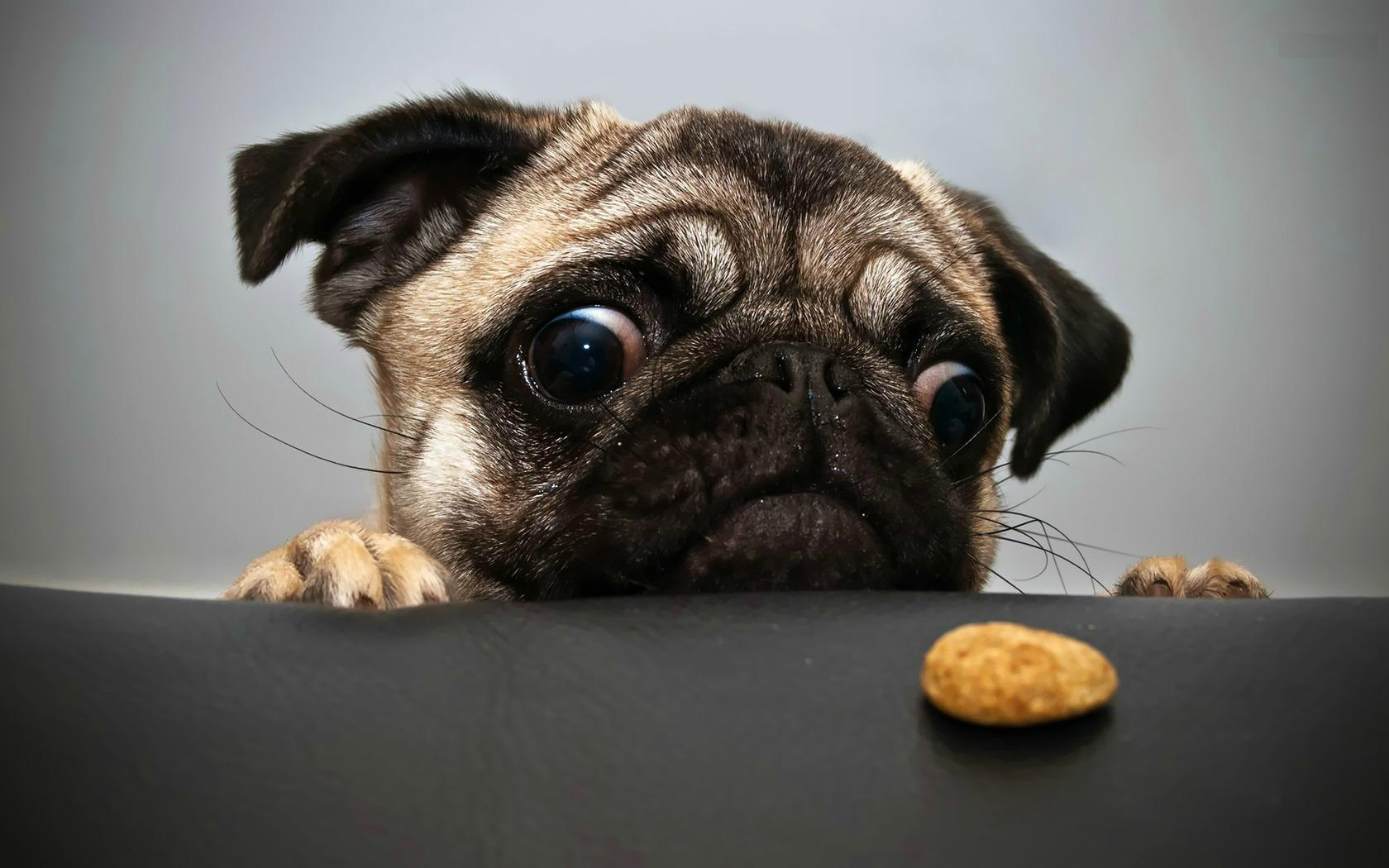 small pug dog wallpapers funny face of pug dog download best 1680x1050