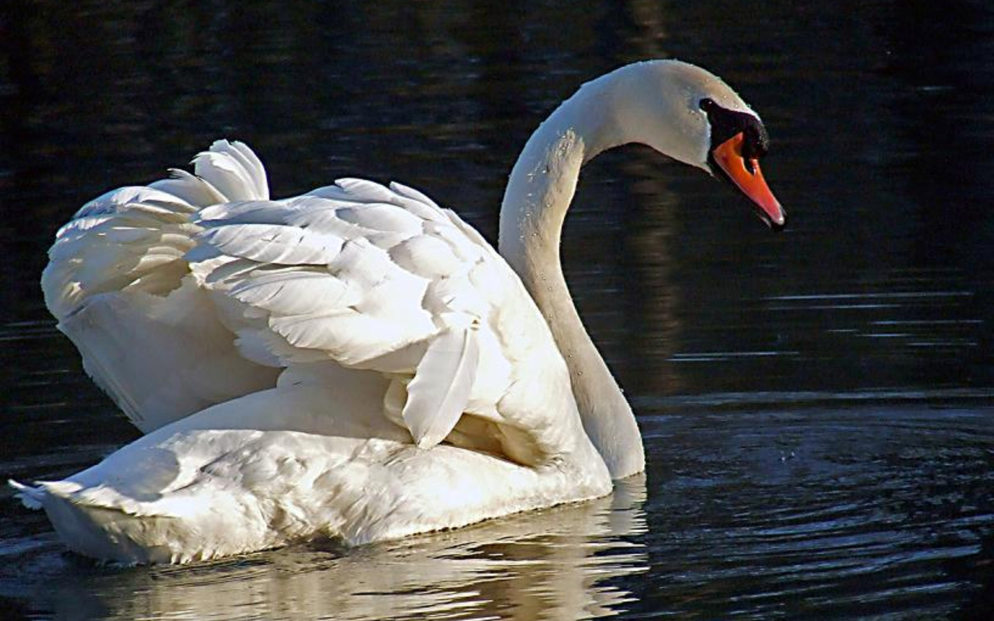 Swan Wallpaper photo and wallpaper All Swan Wallpaper pictures 1440x900