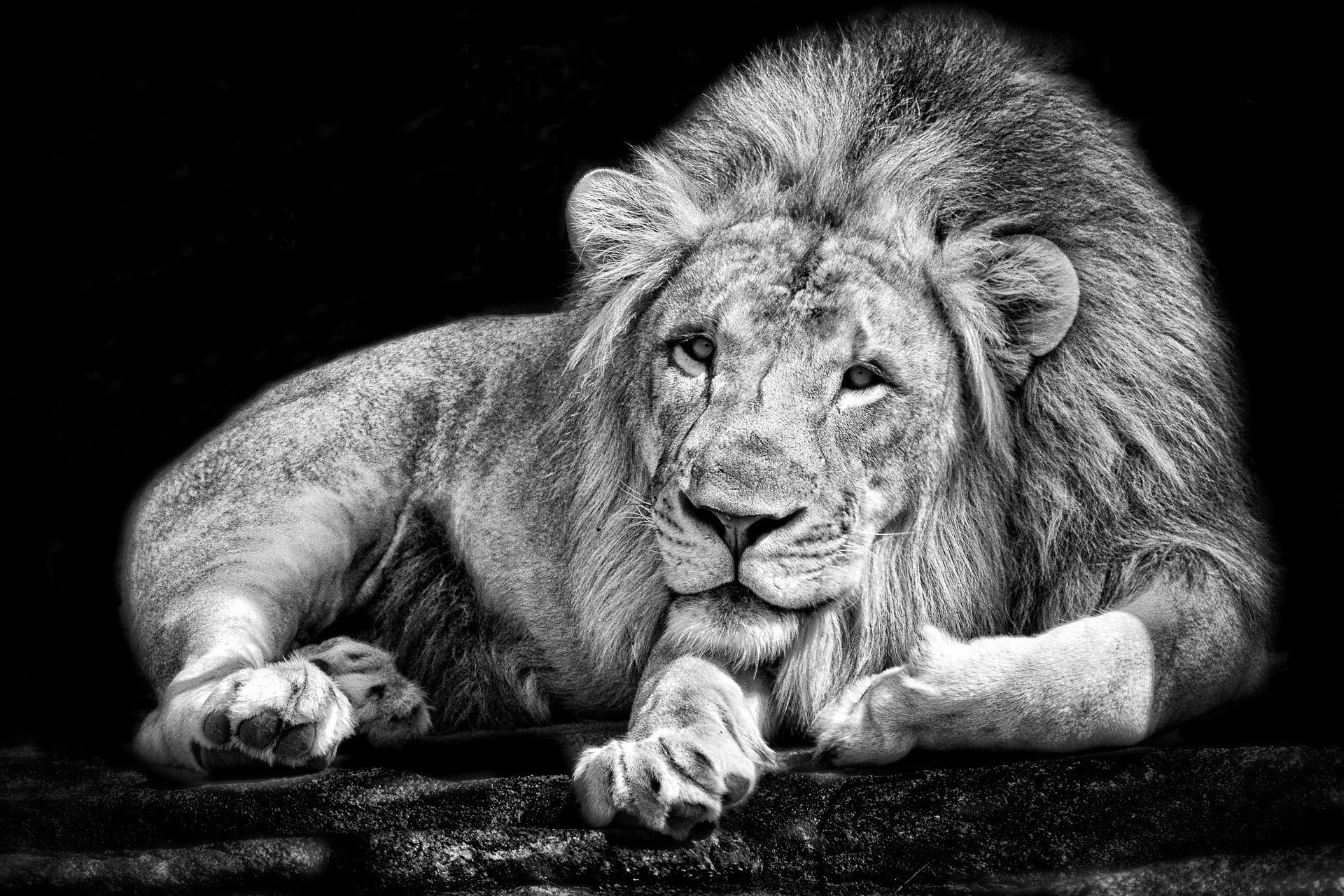 monochrome Animals Lion Black White Wallpapers HD Desktop 1920x1280