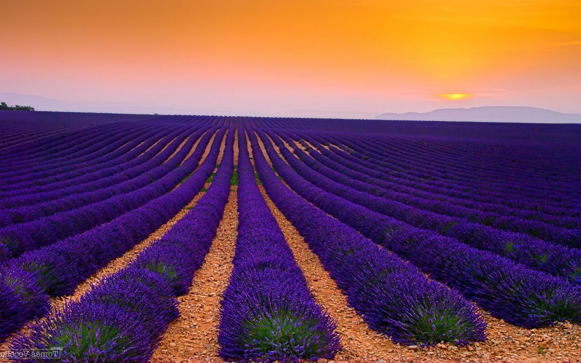 Lavender field wallpaper 28955 1920x1200