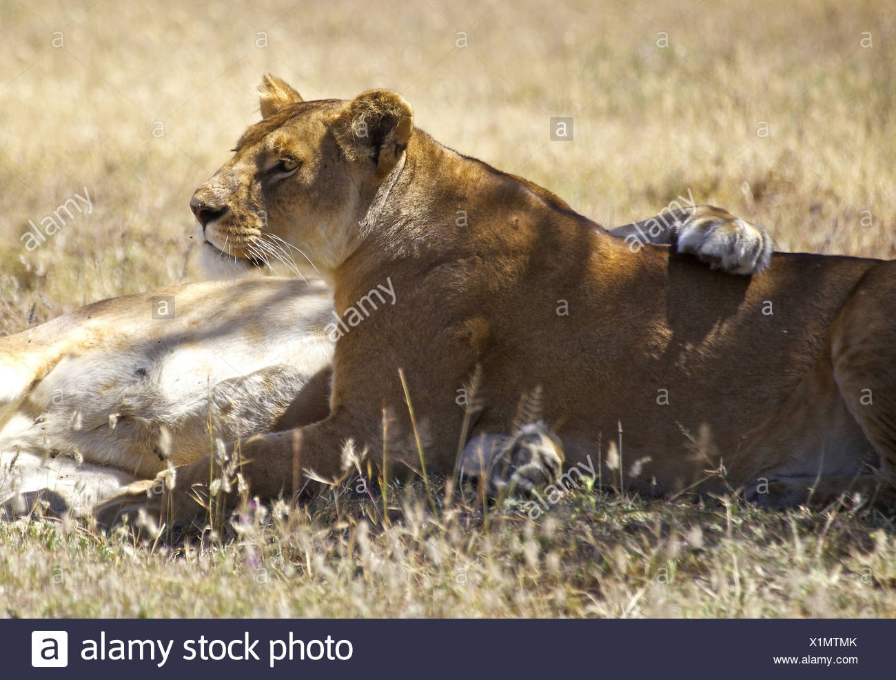 Companionship Panthera Leo Stock Photos Companionship Panthera 1300x986