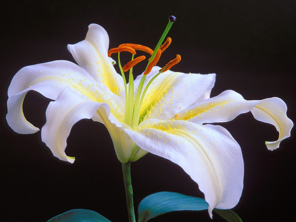 lily flower Page 8 1024x768