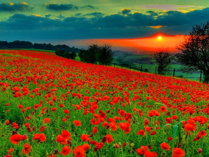 Poppy Fields 808x606