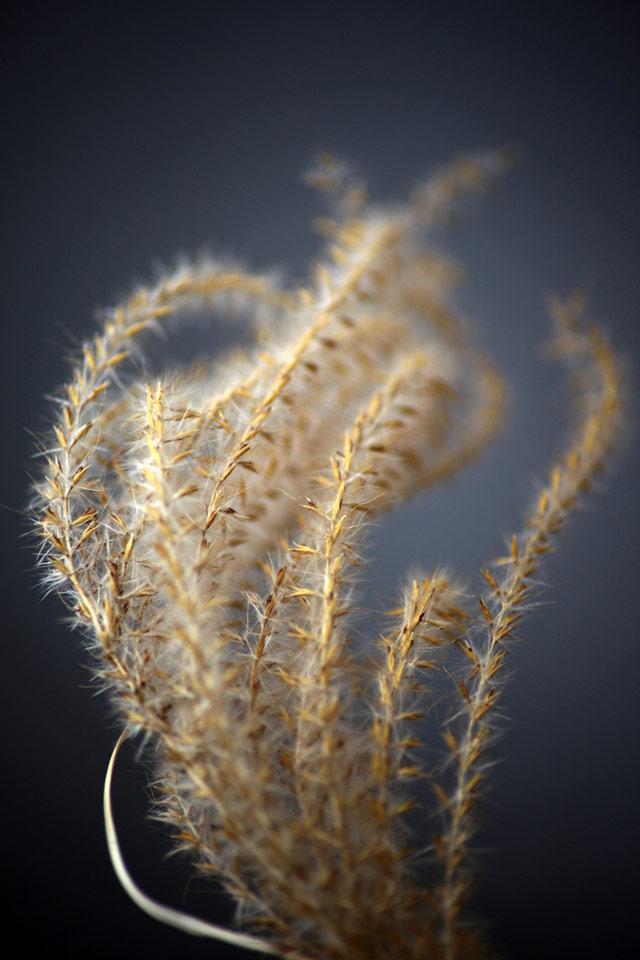 Wheat Zen iPhone Wallpaper 640x960