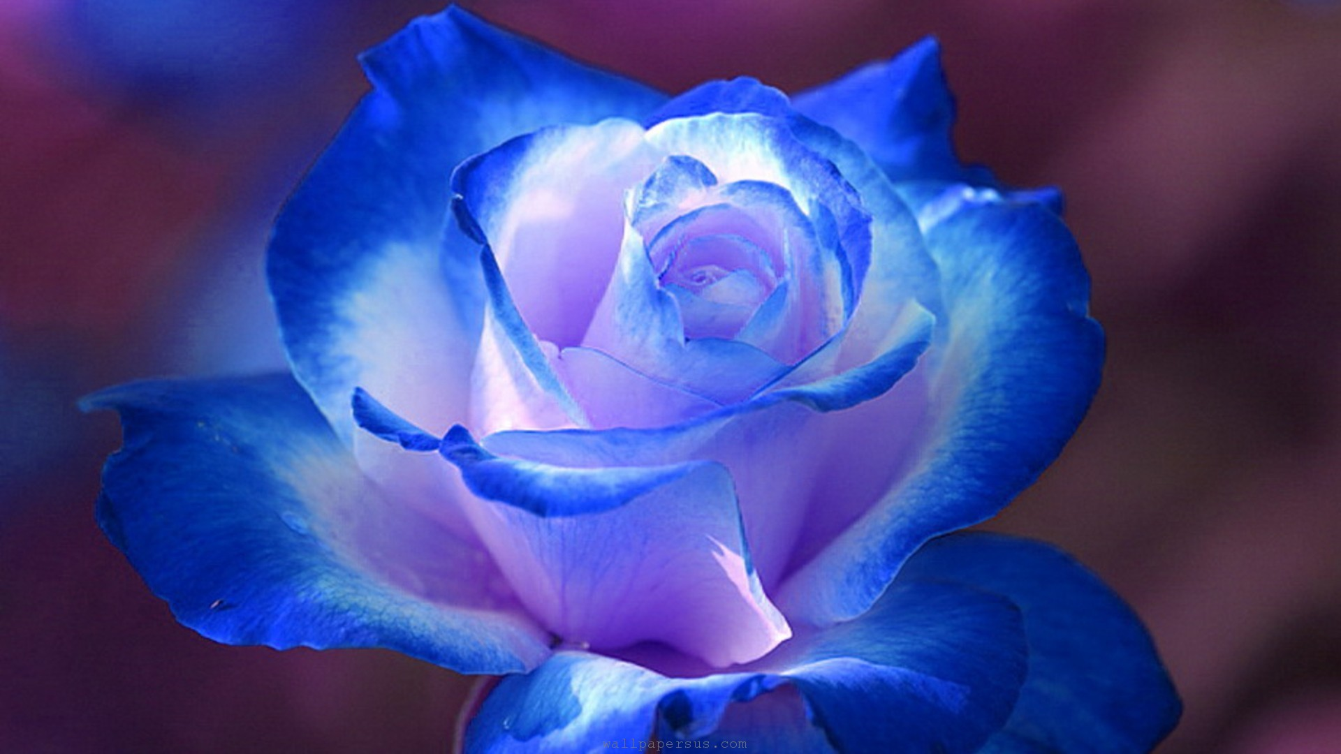 Blue Rose Flower Images Hd Wallpaper   Beautiful Blue And White 1920x1080